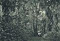 Das südliche Togo (Busse) - Tafel 7 - Lichter Urwald im Agome-Gebirge.jpg