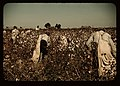 Day laborers picking cotton near Clarksdale, Miss. LCCN2017877492.jpg