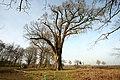 De 'Duizendjarige Eik' , opgaande boom - 374865 - onroerenderfgoed.jpg