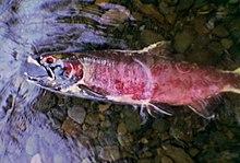 Мертвая рыба лежит на боку на мелководье над руслом из булыжников ручья. Его кожа имеет красновато-пурпурный оттенок; его рот открыт; в его видимой глазнице отсутствует глаз.