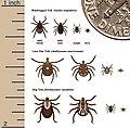 Deer Ticks 3 species.jpg