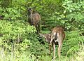 Deer on Lummi Island.jpg