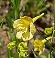 Delphinium luteum 7.jpg