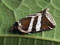Deltote bankiana - Silver barred - Совка-листовёртка серебристая (41056637991).jpg