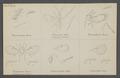 Derostenus - Print - Iconographia Zoologica - Special Collections University of Amsterdam - UBAINV0274 046 11 0018.tif