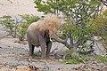 Desert elephant (Loxodonta africana) spraying sand.jpg