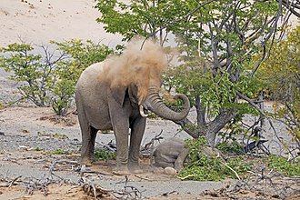 Desert elephant - Female spraying sand to keep cool while standing guard over her calf, Damaraland, Namibia
