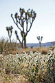 Desert fiddleneck (Amsinckia tessellata var. tessellata) (14399168685).jpg