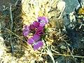 Dianthus carthusianorum subsp. carthusianorum FlowersCloseup 2009June01 SierraMadrona.jpg