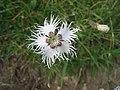Dianthus hypssopifolius - Canillo, Andorra.JPG
