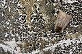 Diarsia subtincta (40527850761).jpg
