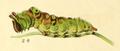 Dieschmetterling14ecks 0134 leminitis populi larva.png