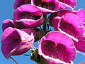 Digitalis purpurea Norway 07-2004.JPG