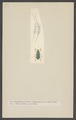 Diphucephala - Print - Iconographia Zoologica - Special Collections University of Amsterdam - UBAINV0274 001 05 0043.tif