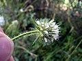 Dipsacus pilosus inflorescence (21).jpg