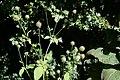 Dipsacus pilosus inflorescence (45).jpg
