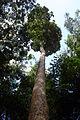 Dipterocarpus zeylanicus.JPG