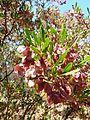 Dodonaea viscosa var angustifolia, vrugte, c, Waterberg.jpg