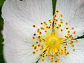 Dog rose (detail) (14420962745).jpg