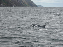Dolphins in Cromarty Firth (2).JPG