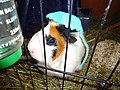 Domesticated guinea pigs 1.jpg