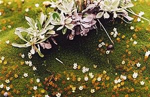 Cushion plant - Donatia novae-zelandiae