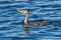 Double-Crested Cormorant -66 100- (36939338942).jpg