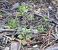 Draba cuneifolia 1.jpg