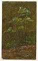"Drawing, ""Trumpet Tree"", May 1865 (CH 18200583).jpg"