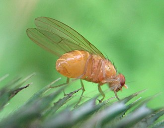 Outline of biology - Drosophila melanogaster, commonly used as a model organism