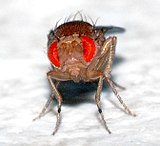 Fruit flies are commonly used.
