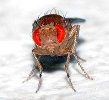 220px-Drosophila_melanogaster_-_front_%28aka%29 dans MOUCHE