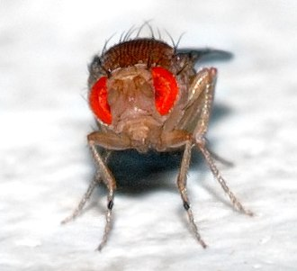 Animal testing - Fruit flies are an invertebrate commonly used in animal testing.