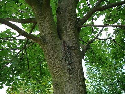 Рачком у дерева