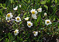 Dryas octopetala 'Mountain Avens'.jpg