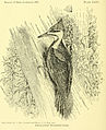 Dryocopus pileatus - Birds of Indiana 1898.jpg