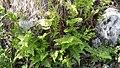 Dryopteris filix-mas (Dryopteridaceae) 02.jpg