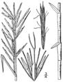 Dulichium arundinaceum BB-1913.png