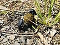 Dung beetles in Turkey.jpg