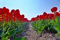 Dutch Tulips In Spring (147790103).jpeg