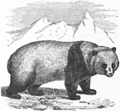 EB1911 Carnivora Fig. 6 - The Parti-coloured Bear, or Giant Panda.jpg