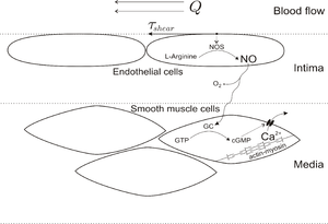 Biological functions of nitric oxide - A scheme of the shear stress-induced EDRF-NO mechanism