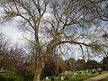 Earlham Road Cemetery Norwich, Populus Nigra.jpg