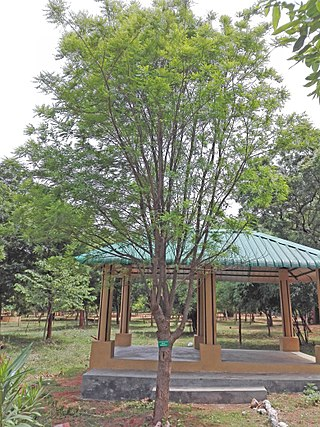 East Indian satinwood (Chloroxylon swietenia) at Kambalakonda Eco Park in Visakhapatnam.jpg