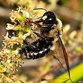 Eastern Carpenter Bee (Xylocopa virginica) ♂ (6903118856).jpg