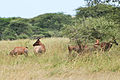 Eastern Serengeti 2012 06 01 3302 (7522726200).jpg