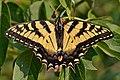 Eastern Tiger Swallowtail (Papilio glaucus) (37577909806).jpg