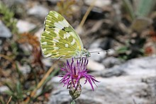Eastern bath white (Pontia edusa) female underside Macedonia.jpg