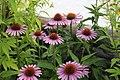 Echinacea purpurea - 2.jpg
