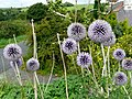 Echinops growing at the entrance to Willow Lane - geograph.org.uk - 924625.jpg